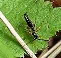 Ichneumon wasp (34930883852).jpg