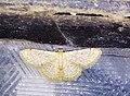 Idaea ptyonopoda 28552307.jpg