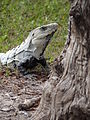 Iguana - Edzna Archaeological Site - Campeche State - Mexico.jpg
