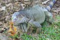 Iguana iguana 23zz.jpg