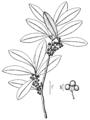 Ilex amelanchier NRCS-1.png