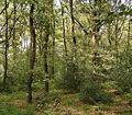 Ilex aquifolium 14 ies.jpg