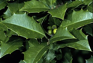 Ilex opaca - Foliage and immature fruit