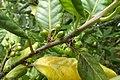 Ilex perado subsp. perado kz04.jpg