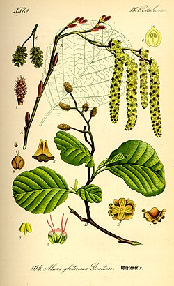 Illustration Alnus glutinosa0.jpg