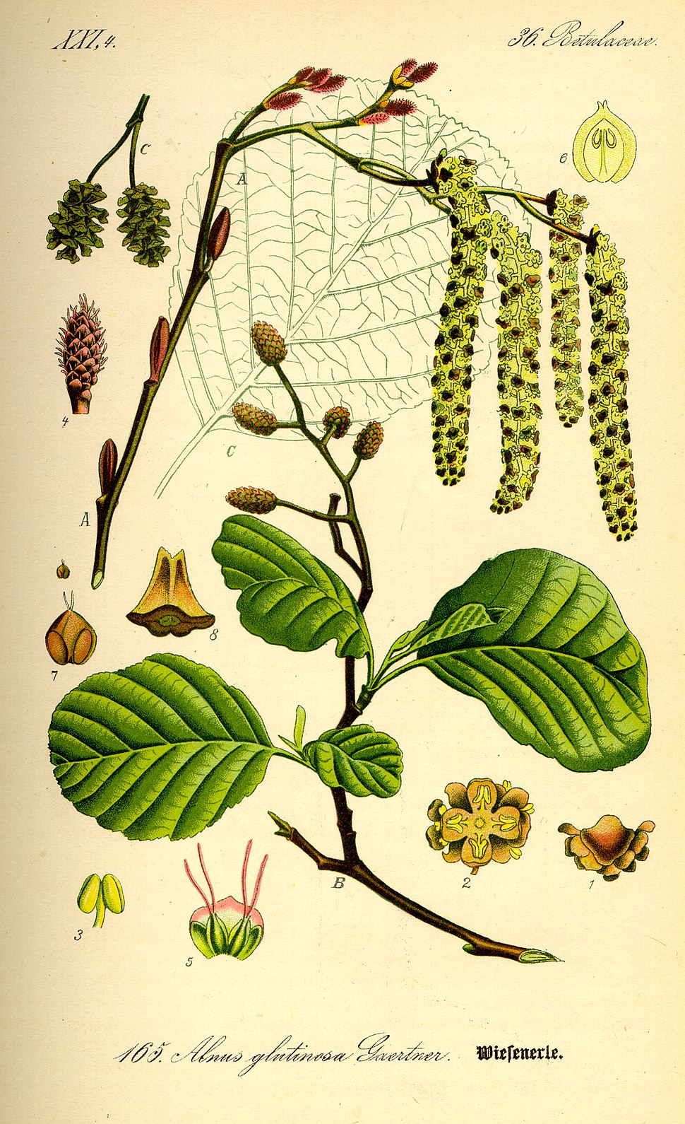 Illustration Alnus glutinosa0