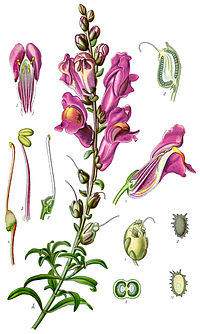 Illustration Antirrhinum majus clean