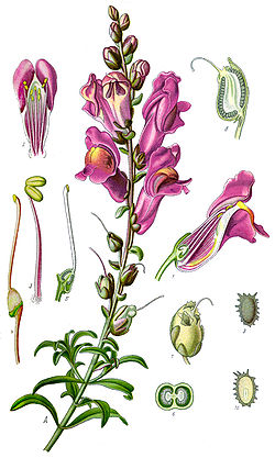 Illustration Antirrhinum majus clean.jpg
