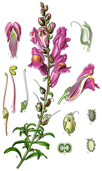 File:Illustration Antirrhinum majus clean.jpg