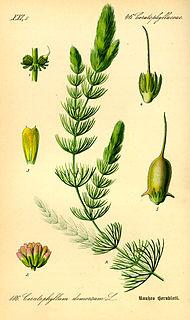Hornblatt (Ceratophyllum), man