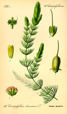 Raues Hornblatt (Ceratophyllum demersum), Illustration