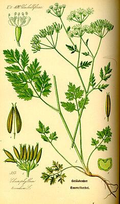 Hecken-Kälberkropf (Chaerophyllum temulum), Illustration