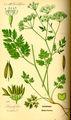 Illustration Chaerophyllum temulentum0.jpg