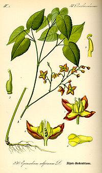 Illustration Epimedium alpinum0