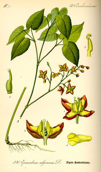 351px-Illustration_Epimedium_alpinum0