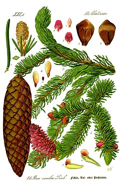 Illustration Picea abies0 clean.jpg