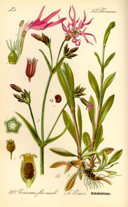 Illustration Silene flos-cuculi0.jpg