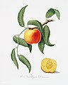 Illustration from Pomona Italiana Giorgio Gallesio by rawpixel00003.jpg