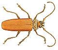 Illustrations of Exotic Entomology Prionus Cinnamomeus.jpg