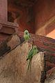India Wild Parrots (349114434).jpg