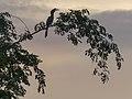 Indian Grey Hornbill (34740056254).jpg