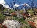 Indian Paintbrush blooms amongst grey rocks (18431366360).jpg