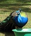 Indian Peacock (2318950407).jpg