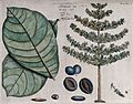 Indian almond (Terminalia catappa L.); leaves, tree, fruit, Wellcome V0042599.jpg