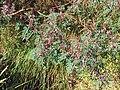 Indigofera australis-habit.jpg