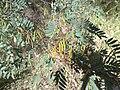 Indigofera australis-pods.jpg