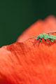 Insecte vert sur coquelicot.jpg