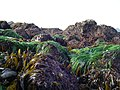 Intertidal plants coast seaweed kelp eelgrass NPS Photo (17137744270).jpg