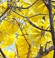 Ipê amarelo Pantanal.jpg