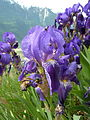 Iris germanica Valais2.JPG