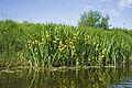 Iris pseudacorus from Finland 02.jpg