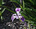 Iris tenax subs. tenax.jpg