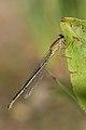 Ischnura elegans 7(loz).jpg