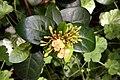 Ixora coccinea Dwarf Yellow 5zz.jpg