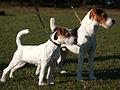 JRTCGB Jack Russell Terrier.jpg
