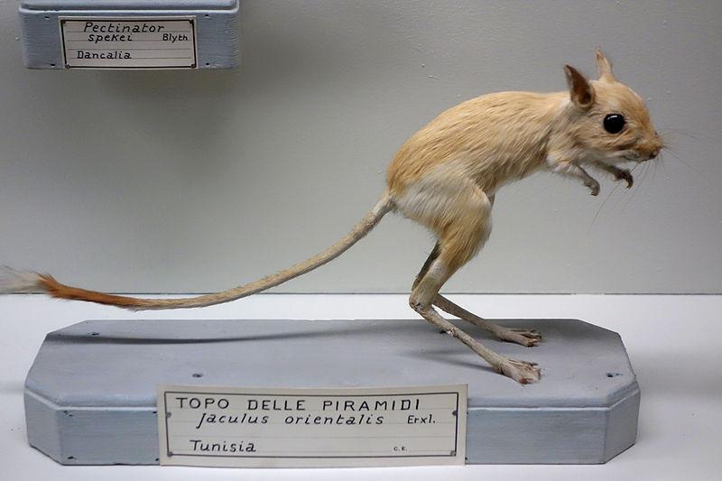 File:Jaculus orientalis - Museo Civico di Storia Naturale Giacomo Doria - Genoa, Italy - DSC02837.JPG