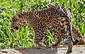 Jaguars (Panthera onca) brothers on the riverbank ... (48692248876).jpg