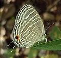 Jamides celeno – Common Cerulean 09.JPG