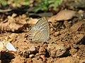 Jamides celeno - Common Cerulean mud puddling at Peravoor (2).jpg