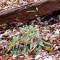 Japanese Stiltgrass (31264320185).jpg