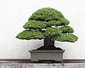 Japanese White Pine bonsai, 2011-05-29.jpg