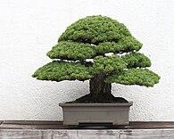 Bonsai – Wikipedia