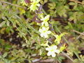 Jasminum nudiflorum0.jpg