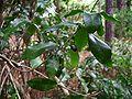 Jasminum simplicifolium.jpg