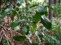 Jasminum simplicifolium