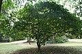 Jatropha Pandurifolia -05.jpg